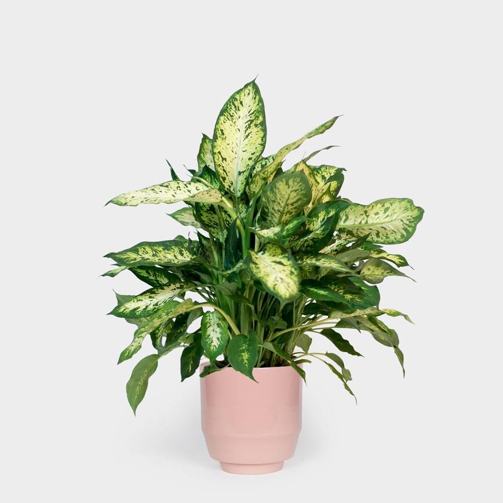 Цветок диффенбахия: приметы и суеверия, можно ли деражть дома