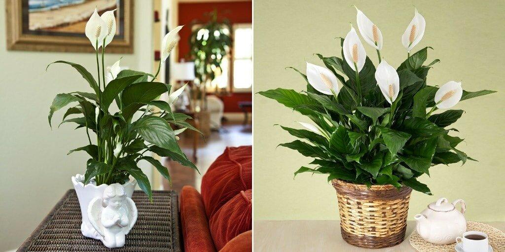 Спатифиллум или цветок женское счастье: приметы и суеверия