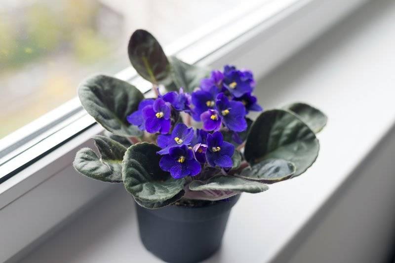 Фиалки — можно ли держать дома, приметы и поверья про цвет растения