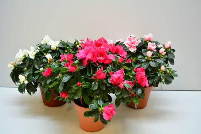 Ванька мокрый цветок – особенности ухода