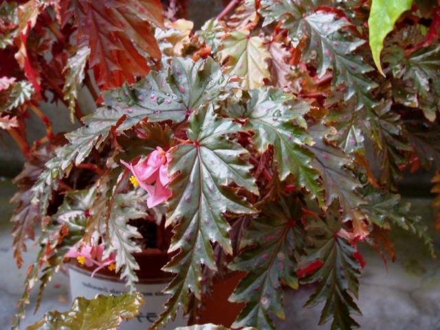 Цветок бегония приметы и суеверия - зеленый уголок