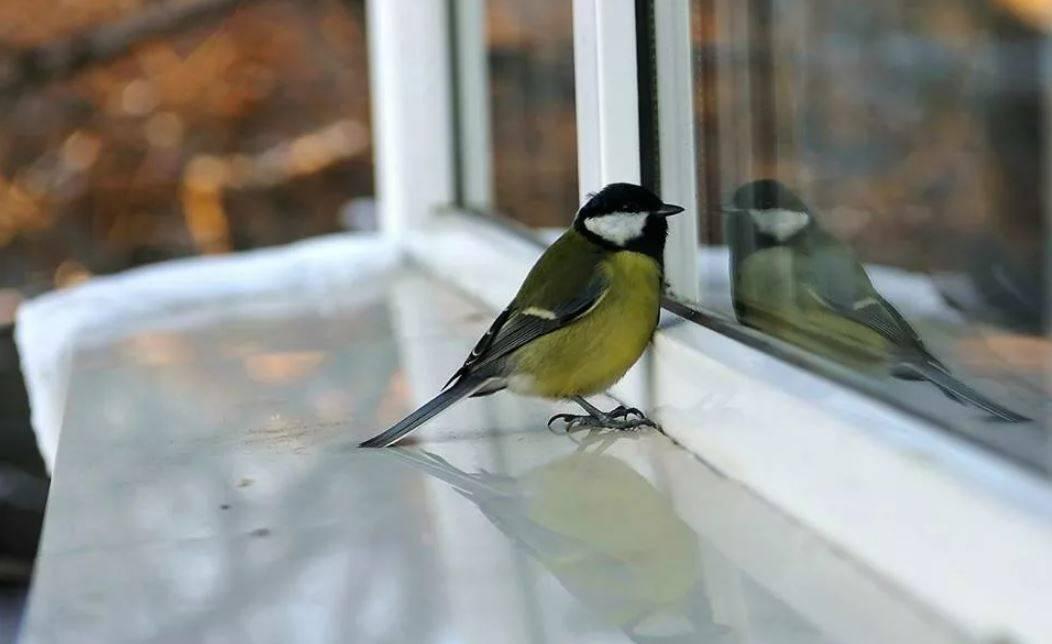 К чему птицы стучат в окно клювом по народным приметам?