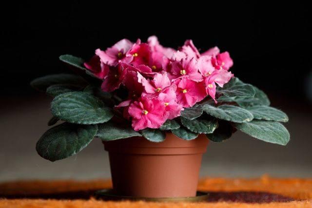 Народные приметы о фиалках в доме — магия растений