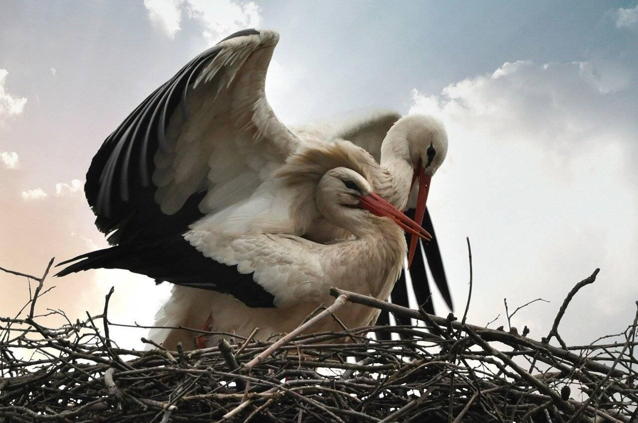 Птица аист: [описание и фото] когда улетают и где зимуют аисты