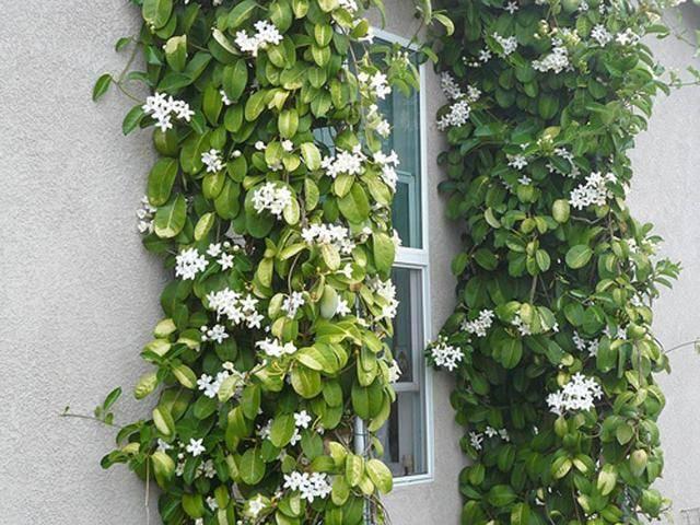 Можно ли дома держать амазонскую лилию
