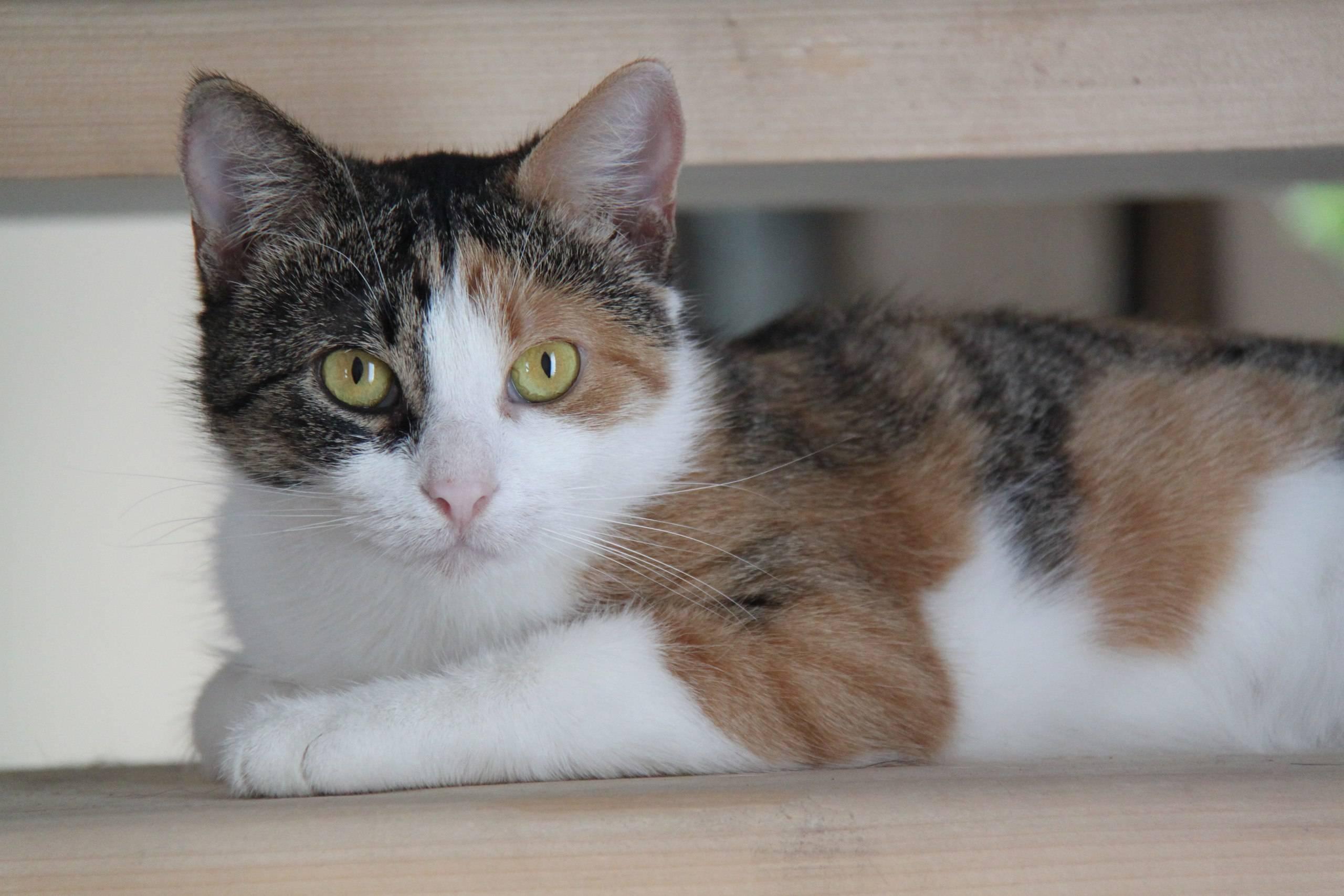Приметы: трехцветная кошка в доме. кошка-талисман в вашем жилище