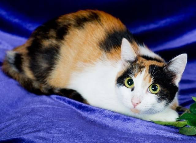 Трехцветная кошка в доме: приметы, к чему, найти