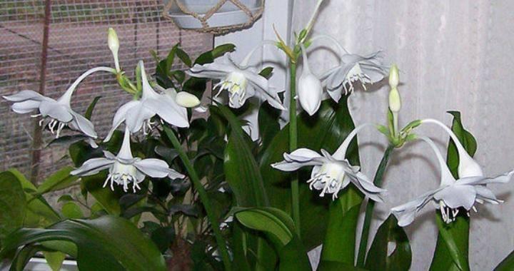 Эухарис для дома — приметы и суеверия