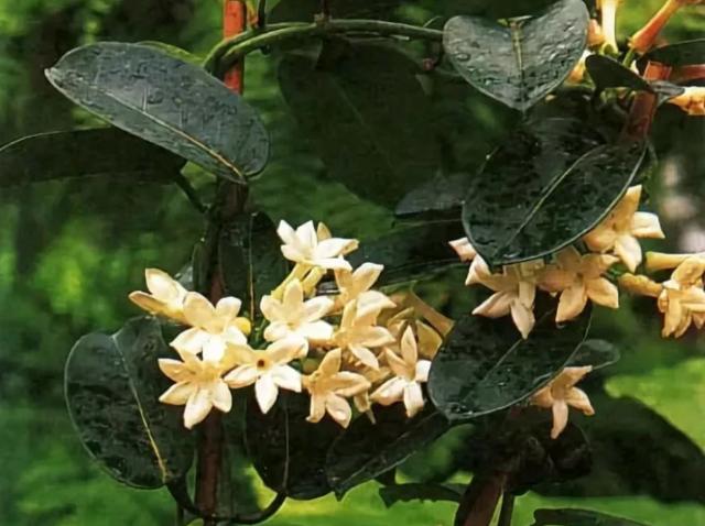 Плектрантус: приметы и суеверия — мольного дерева