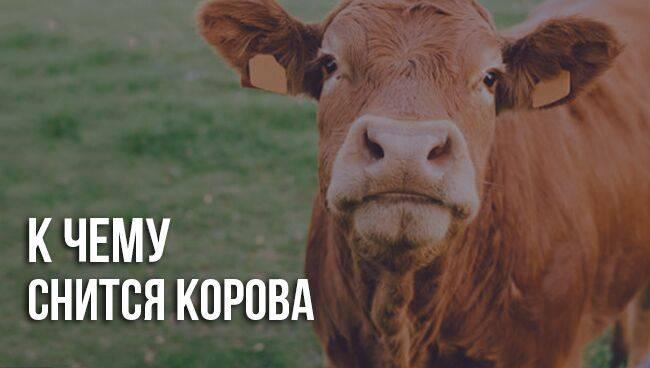 К чему снится корова женщине, стадо коров во сне.