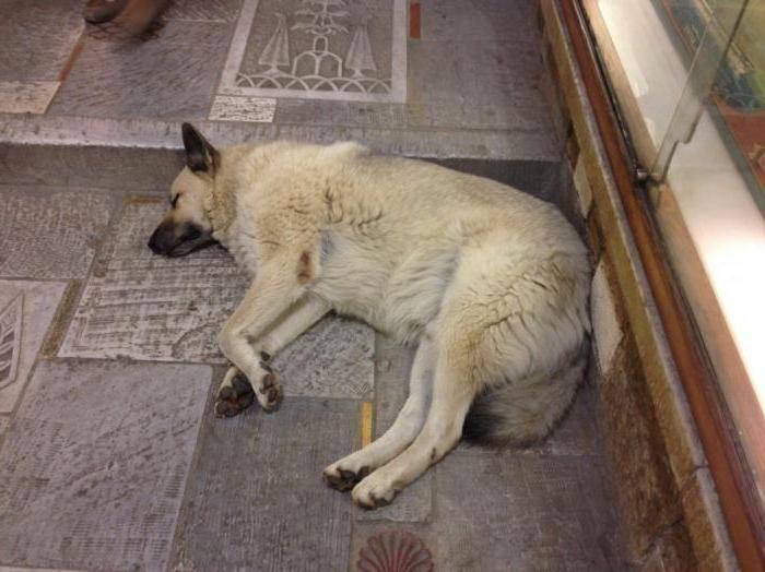 Собака белая