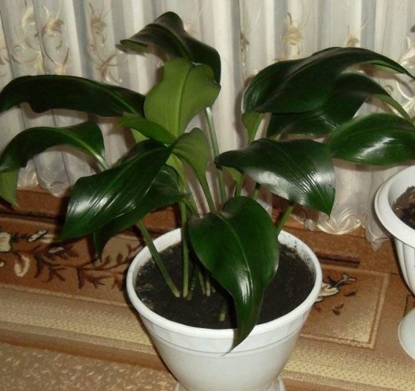 Приметы о выращивании дома воскового плюща