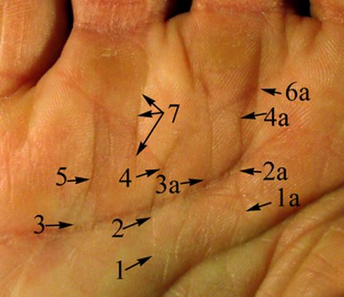 Что означает линия солнца на руке и как ее найти