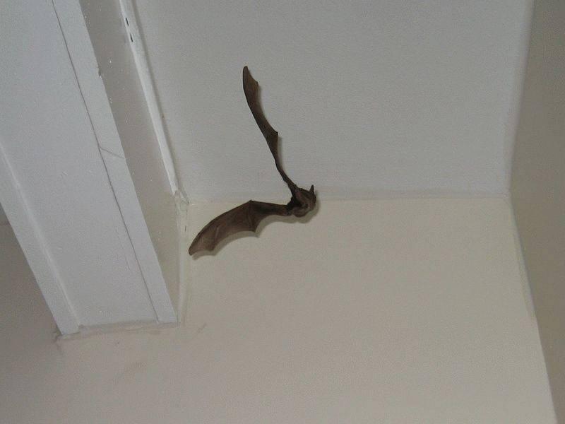 Летучая мышь залетела в дом, примета