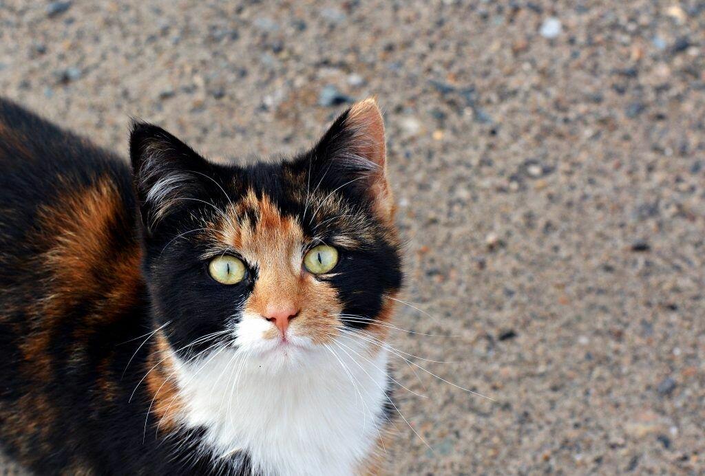 Приметы о трёхцветной кошке в доме