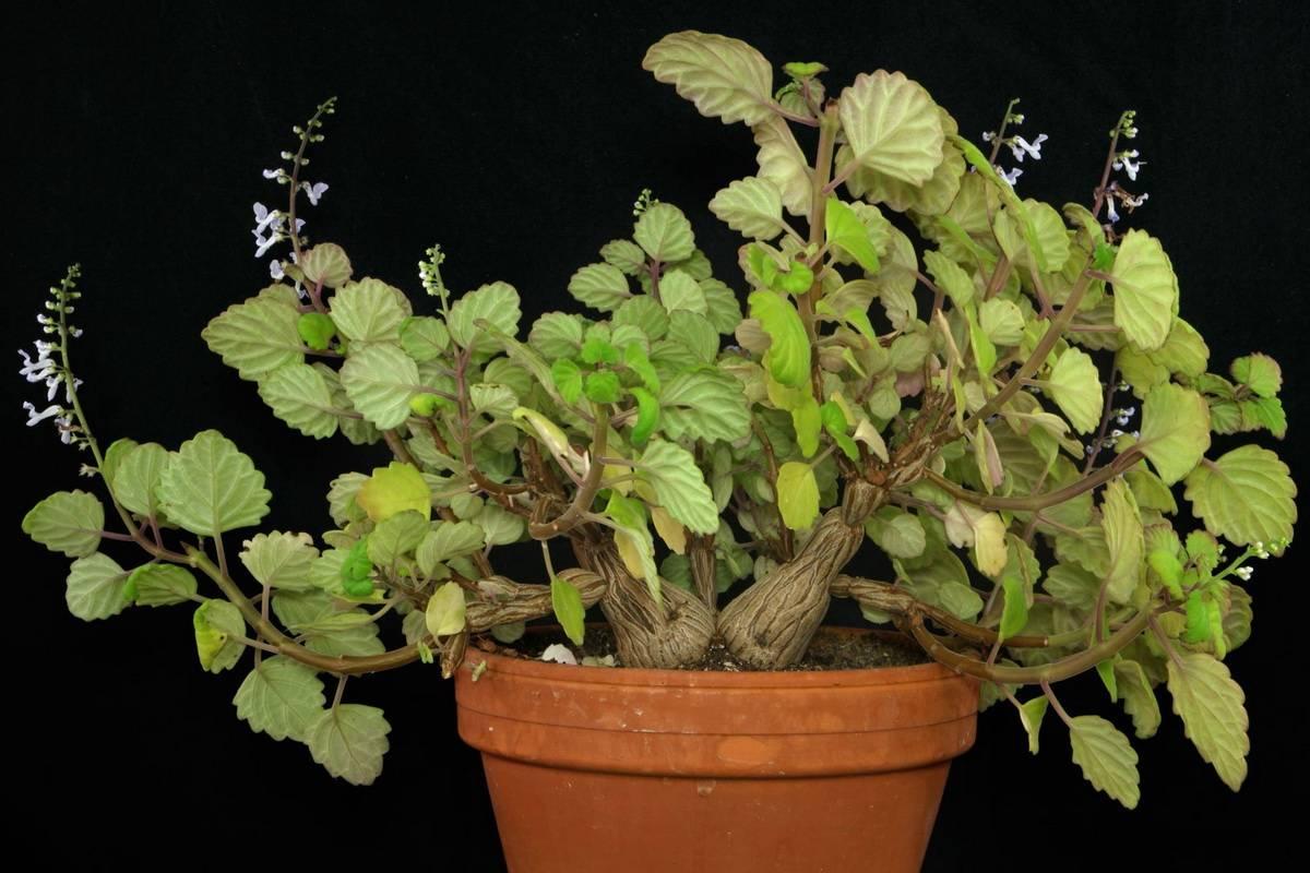 Комнатная мята плектрантус: полезные свойства растения