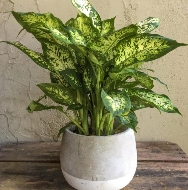 Диффенбахия — почему нельзя держать цветок дома, приметы и суеверия