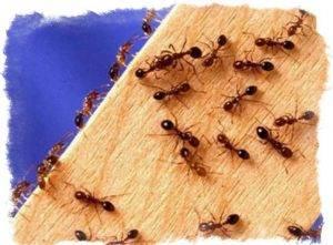 Примета: появились муравьи в квартире, в доме