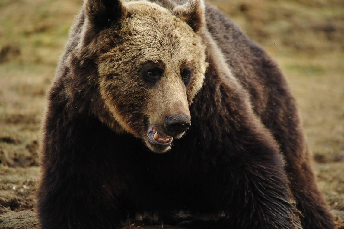 Как толковать сон о черном медведе — 35 разных значений по сонникам