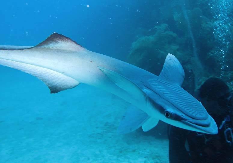 Рыба-прилипала и акула, присоски реморы ∞ лагуна акул
