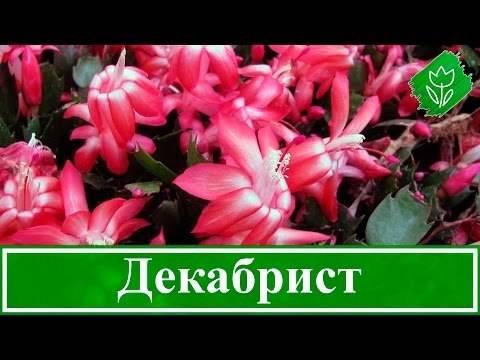 Декабрист цветок: приметы и суеверия, зацвел, можно ли держать в доме – все о томатах. выращивание томатов. сорта и рассада.