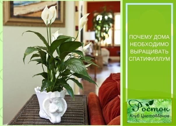 Цветок спатифиллум: приметы и суеверия, женское счастье, зацвел