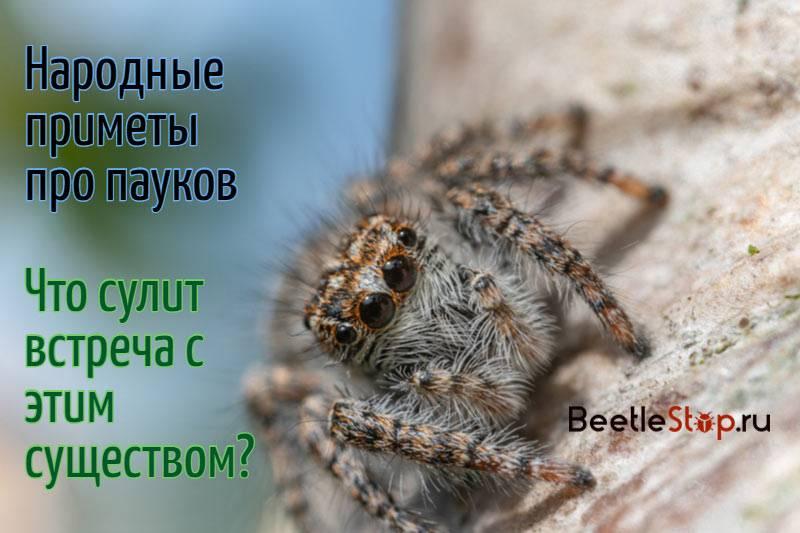 Примета: паук спускается вниз по паутине, с потолка перед лицом
