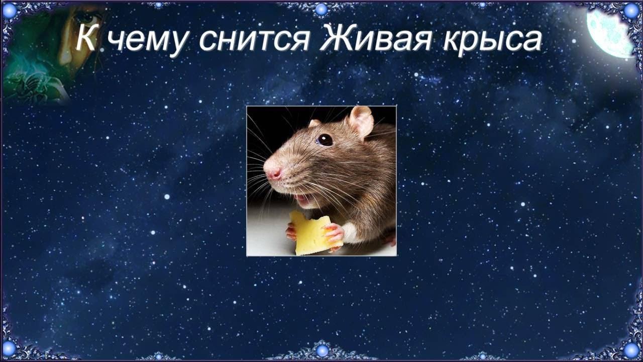 К чему снятся крысы - толкование снов. значение снов с крысами для женщин и мужчин