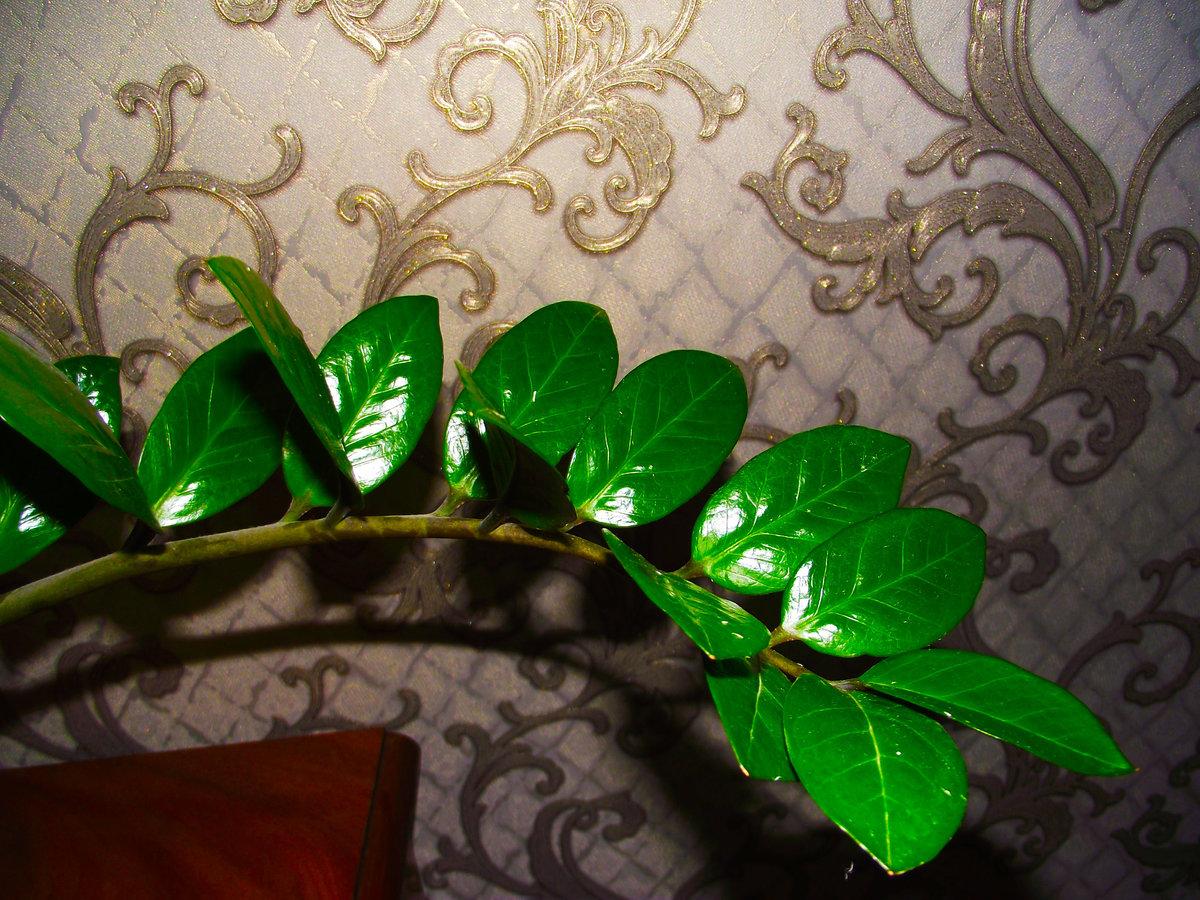 Народные приметы и суеверия про замиокулькас – долларовое дерево