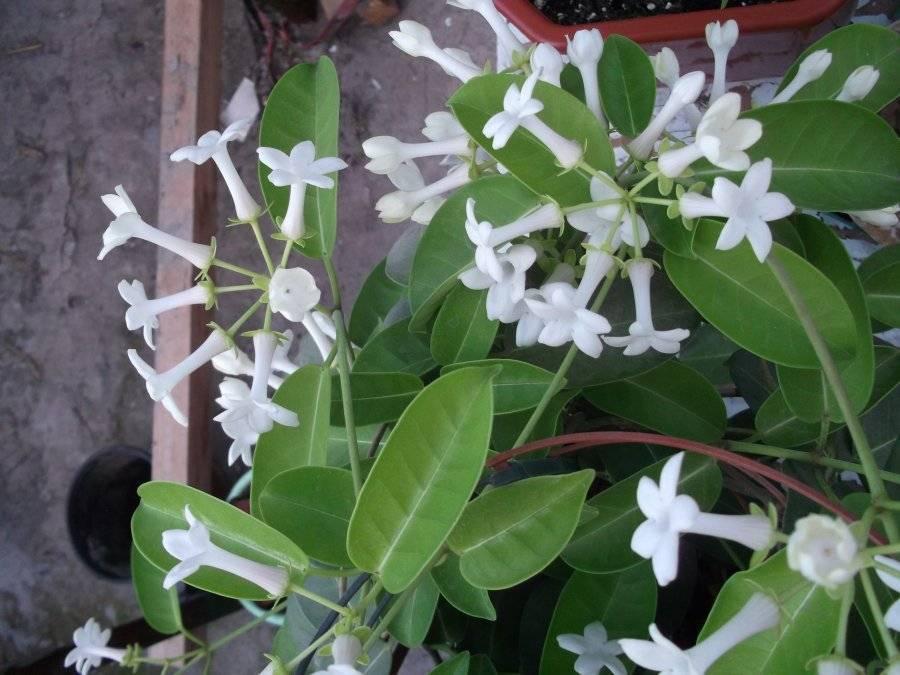 Стефанотис: фото цветка, приметы и суеверия, можно ли держать дома, почему желтеют листья, что делать?