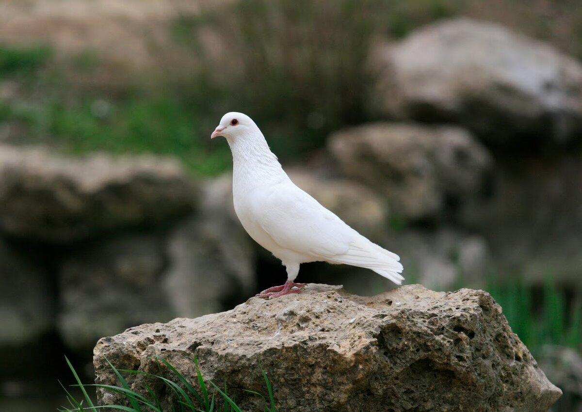 Толкование приметы, если голубь залетел на балкон
