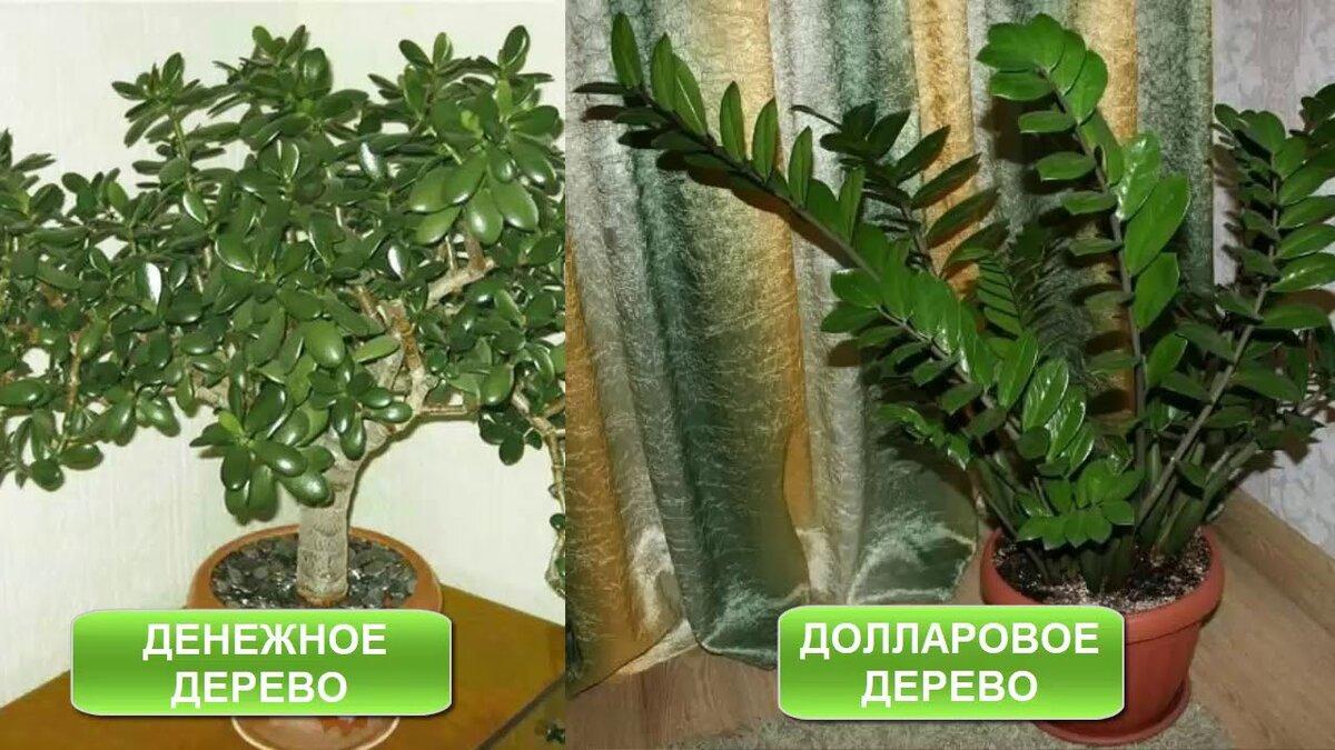 Замиокулькас - приметы и суеверия растения
