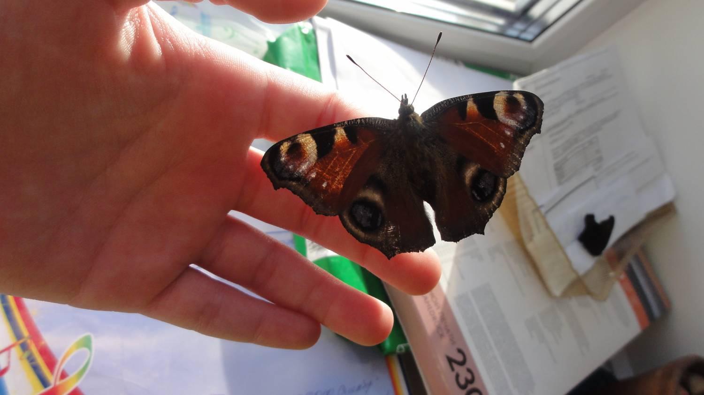 Примета: бабочка залетела в дом, квартиру, окно