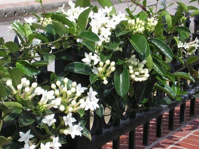 Цветок стефанотис флорибунда обильноцветущий