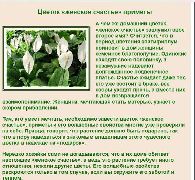 Цветок Женское счастье — приметы о спатифиллуме
