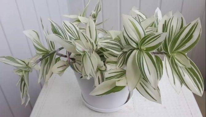 Традесканция: 5 причин завести этот домашний цветок