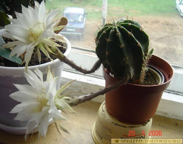 Почему нельзя держать дома кактусы, особенно девушкам