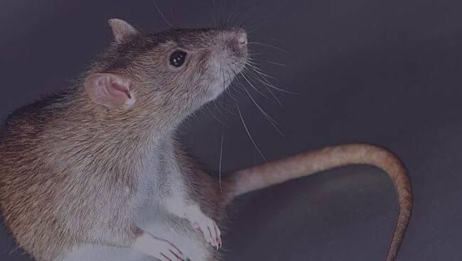 К чему снятся крысы - значение и толкование сноведений для мужчин и женщин в сонниках