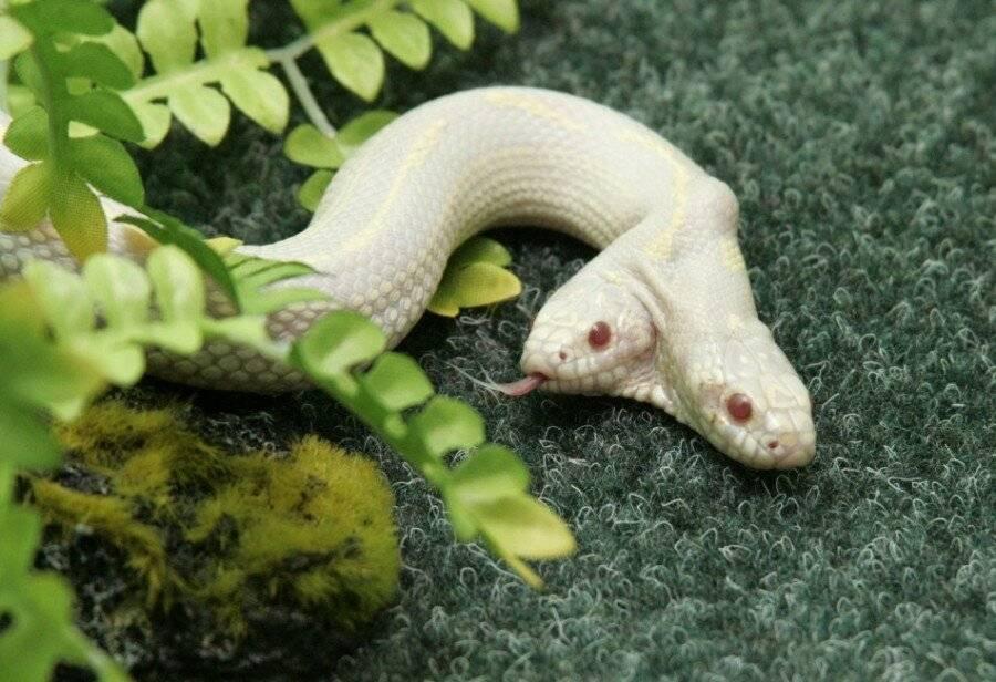 Может ли змея родиться с 2 головами. амфисбена — двуглавая змея из древнегреческих мифов. где встречаются двухголовые змеи