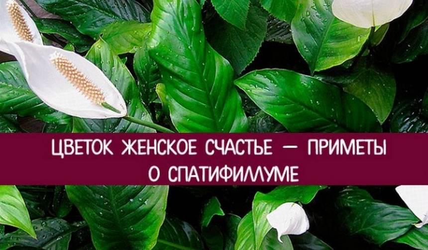 Цветок спатифиллум (женское счастье) и связанные с ним приметы и суеверия ???? приметы о растениях