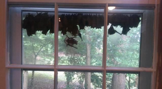Примета летучая мышь залетела в квартиру