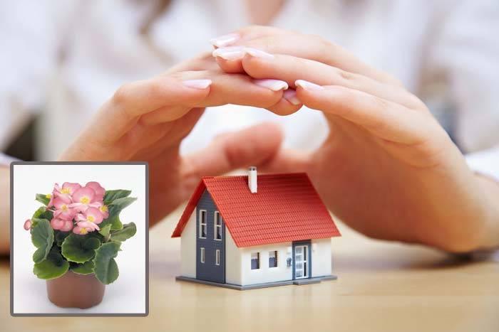 Бегония вред и польза для дома