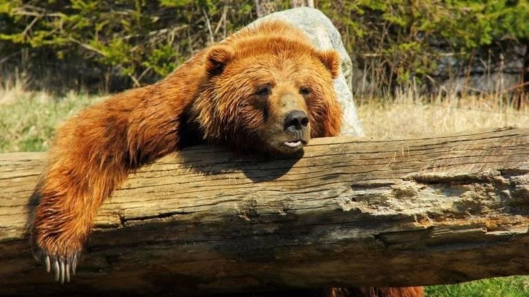 Медведь в сновидении: толкование сонниками образа, где приснились медведи женщине и мужчине