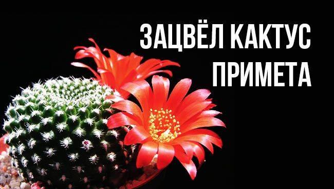 Первый раз зацвел кактус приметы. зацвел кактус: народные приметы и суеверия. какие кактусы можно держать дома