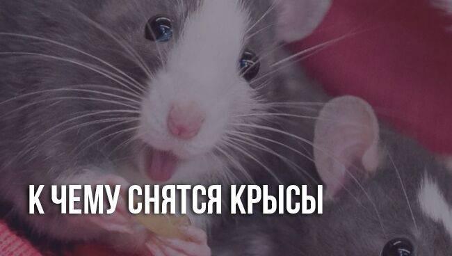 К чему снятся крысы, толкование сна по соннику