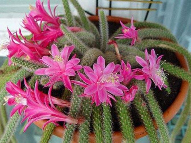 Зацвел кактус примета — все цветы