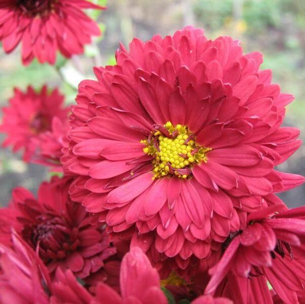 К чему принято дарить хризантемы и какое значение этих цветов? - Автор Ирина Колосова