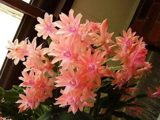 Декабрист цветок: приметы и суеверия, можно ли в доме держать этот цветок, где лучше по фэн-шуй ставить декабрист.