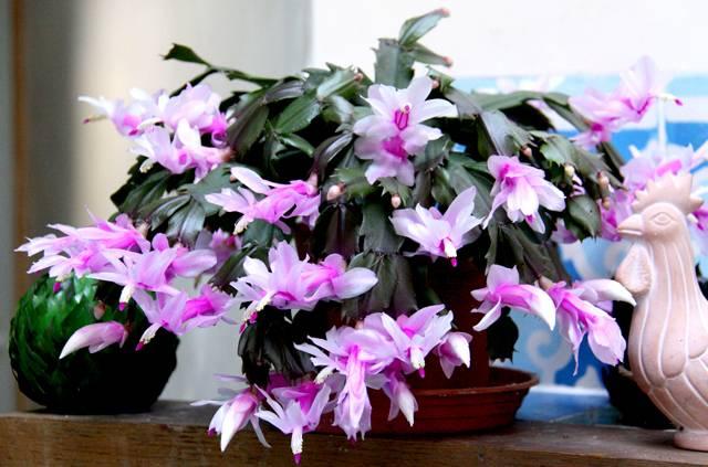 Можно ли держать дома цветок декабрист: приметы и рациональные доводы