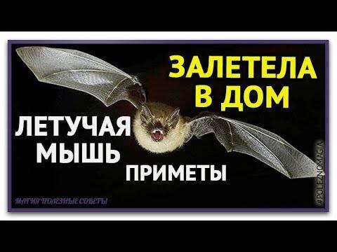 К чему по примете залетела летучая мышь в квартиру